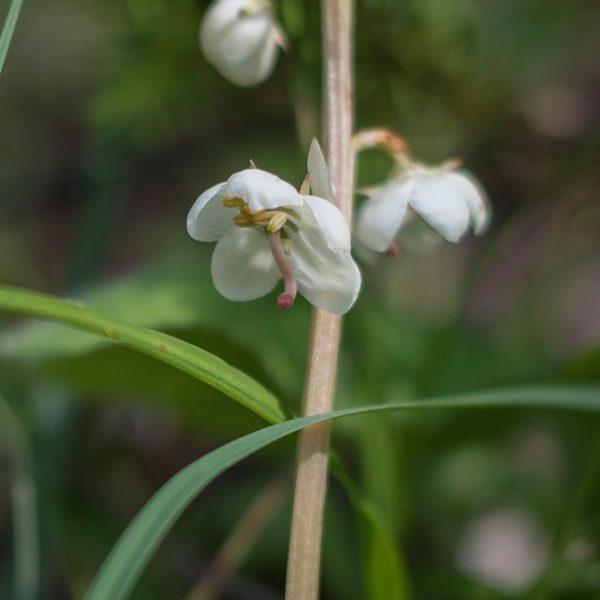 Lom Rasová – orchideje a jiné  vzácné rostliny